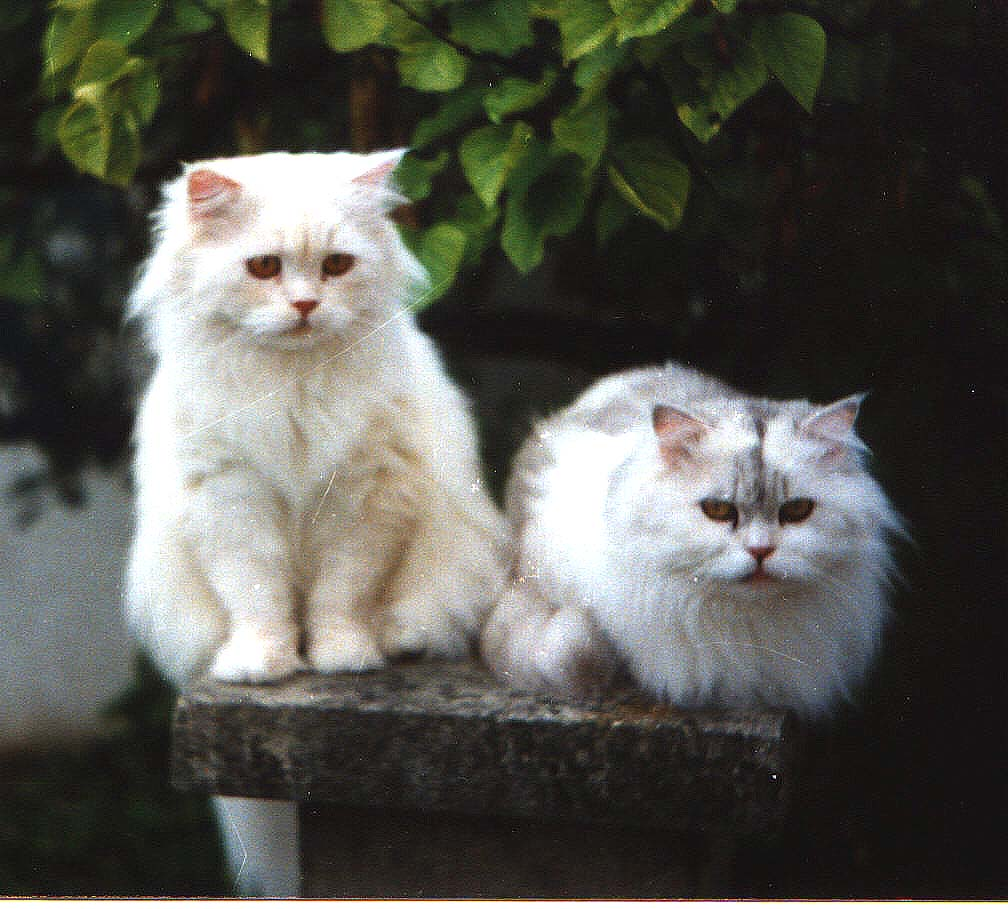 The Traditional Persian Cat FAQs
